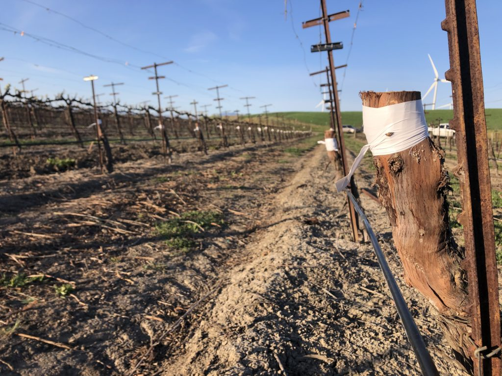 picture of vineyard grafting